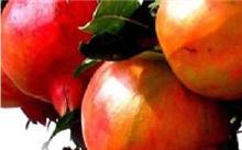 晚熟桃树苗什么品种较好?最晚熟的桃树苗,种植哪个好?