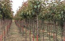 如何养护榆树盆景?榆树盆景可以用玉肥吗?