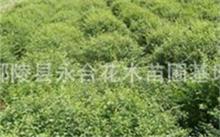 榆树盆景怎样种植?