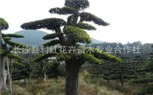 榆树盆景可以用营养土种吗?小叶榆树盆景如何种植?