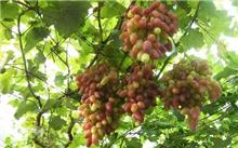葡萄的好处,葡萄种植??