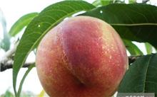 云南晚熟桃树苗新品种哪有?哪里有晚熟桃苗新品种种植?