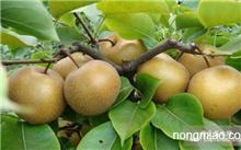 什么品种的晚熟桃树苗前景好?晚熟桃树苗种植什么品种较好?