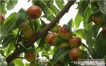 麻核桃树几年结果,麻核桃树长什么样?