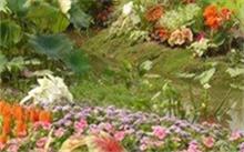 黄菖蒲种子什么时候种植?