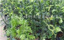 曼地亚红豆杉真的可以防癌?曼地亚红豆杉盆景怎么养护?