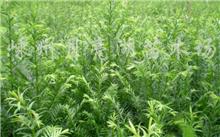 什么事曼地亚红豆杉有什么用啊?