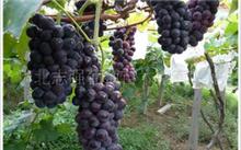 葡萄营养,葡萄的利与弊?????