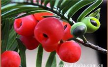 曼地亚红豆杉怎么种植?曼地亚红豆杉有什么特点?