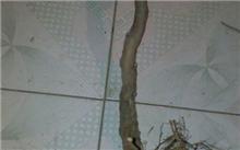 葡萄树的生长周期?葡萄树的种植