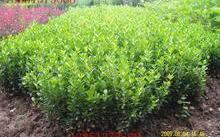 木瓜树苗怎么繁殖?怎样栽培木瓜苗?