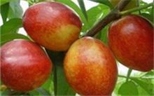 葡萄树能结几年的葡萄?葡萄树怎么管理?