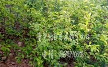 木瓜种植技术