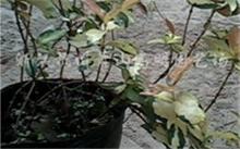花叶络石是什么花?