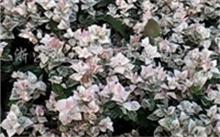 花叶络石的养殖方法