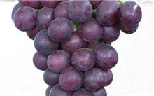 葡萄树怎样种,出来的葡萄好吃?葡萄树较好年怎么修剪?