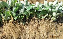 草莓苗如何种植?草莓苗怎么培育?