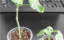 木瓜怎么种植?