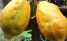 开春季节木瓜树苗能剪枝吗?怎样养殖木瓜苗呢?