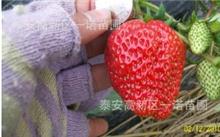 盆栽草莓苗怎么种?草莓苗要在什么环境里移种?