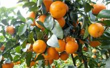 砂糖桔种植技术,砂糖桔什么时候结果?