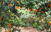 什么地质种植砂糖桔较好?砂糖桔的营养价值