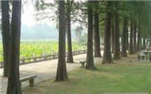 水杉树叶像什么?水杉的种子如何培育?