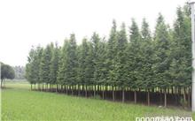 """水杉是名副其实的""""世界爷""""吗?水杉还有几棵"""