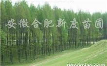 描写水杉的词语和句子,水杉怎样扦插?