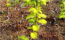 水杉是什么植物类?水杉的生活条件