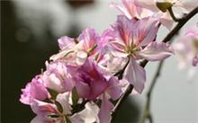 如何区分紫荆花与羊蹄甲花?
