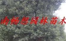 桂花树的移栽时间什么时候较好?院子里种桂花树按风水上说好不好