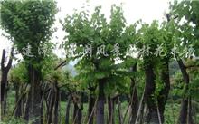 羊蹄甲树的简介,形容羊蹄甲美的成语