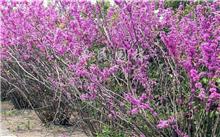 羊蹄甲属几种植物的区别和名称,羊蹄甲是什么颜色的?