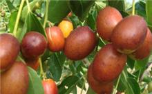 冬枣树苗什么时候种植?