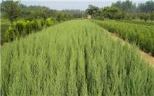 怎么区分圆柏刺柏?刺松和刺柏是同一种植物吗?