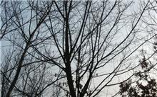 门口种枇杷树好吗?枇杷树生长过程