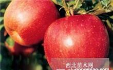 富士苹果价格