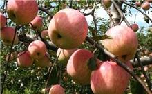 今年红富士苹果的价格