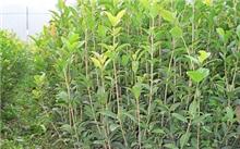 映霜红桃在福建南平可以种植吗?映霜红桃树红苗每株价格是多少?
