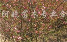 海棠花如何养护?海棠花的俗称是什么?