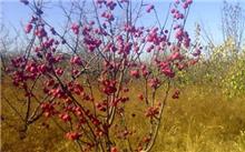 海棠花是什么植物?海棠花的培养