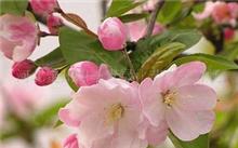 怎样种海棠花?海棠花为什么叫海棠花?