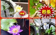 芹叶牡丹养殖方法,芹叶牡丹有毒吗?