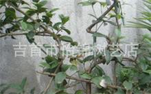 枇杷树的嫁接方法,枇杷树适合什么环境生长?