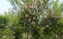 海棠花的资料,描写海棠花的样子