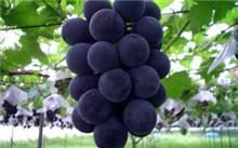 巨峰葡萄大小粒怎么办?巨峰葡萄单性果的原因分析
