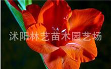 韭菜兰为什么会发黄?韭菜兰花怎样养殖?