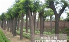 急求巨峰葡萄的相关技术,盆栽巨峰葡萄怎样养才好?