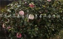 山茶花的养殖方法,栽培方法有哪些?